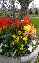 Red and yellow tulips, miniature daffodils, peach hyacinths, white pansies, sweet alyssum, ivy