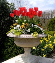 Red tulips, yellow hyancinths, yellow cape daisies, white pansies, sweet alyssum, ivy